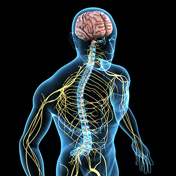 the relationship between the nervous system The nervous system and the heart are related because the autonomic nervous system continually tells the heart to pump blood.